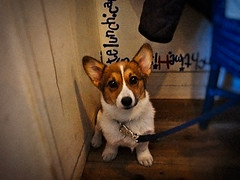 faded but vibrant memory (moaan) Tags: dog digital cafe corgi kobe welshcorgi debut  3monthold pochiko dogcafe cafedebut gettyimagesjapanq1 gettyimagesjapanq2