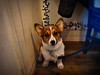 faded but vibrant memory (moaan) Tags: dog digital cafe corgi kobe welshcorgi debut 元町 3monthold pochiko dogcafe神戸 cafedebut gettyimagesjapanq1 gettyimagesjapanq2