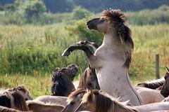 Konikpaarden Konik horses (raymondklaassen) Tags: horses nederland thenetherlands wildhorses flevoland paarden konikpaarden oostvaarderplassen wildepaarden koninkhorses raymondklaassen