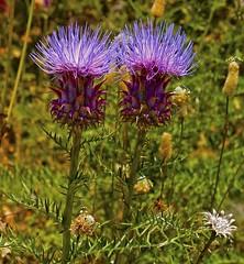 Cynara humilis L. alcachofilla, alcarcil, alcaucil (Karl Hauser) Tags: flowers flower andaluca spain flora pflanzen humilis spanien naturesfinest cynara cynarahumilis kniebiskarle