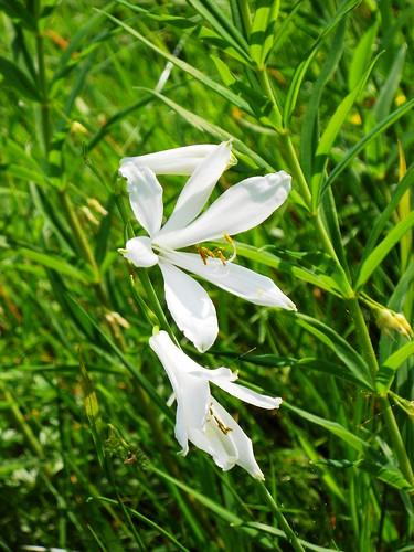 St. Bruno's Lily (Paradisea liliastrum)