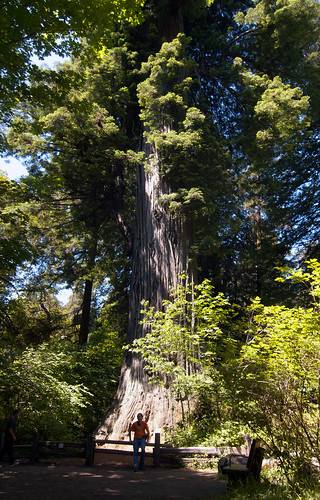 Redwood National Forest - Big Tree