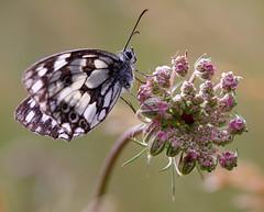 Pareja perfecta (roberto sainz) Tags: mariposa wow3 cruzadas ltytr2 ltytr1 unaimagenvalemasquemilpalabras fotoconcursos aficionadosalafotografia fotosconcorazonypasion tufototureto