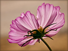 flirty cosmos (Celeste M (site SO SLOW)) Tags: white yellow flora purple magenta cosmos doublefantasy petaledge hennysgardens floralfantasy12