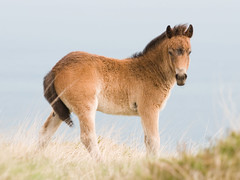 Pony (exmoorphotos) Tags: pony exmoor foal exmoorphotos