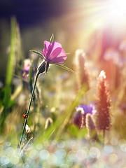 (Alin B.) Tags: wild summer sunlight flower nature field sunshine spring bokeh meadow flare ladybug sunbeam alinb