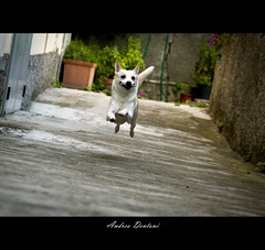 Flying Sancho o Super Sancho (Andrea Dentoni) Tags: dog canon happy jump andrea sigma run corsa sancho 2470 dentoni 40d wwwandreadentonidesigncom httpandreadentoniphotographerblogspotit