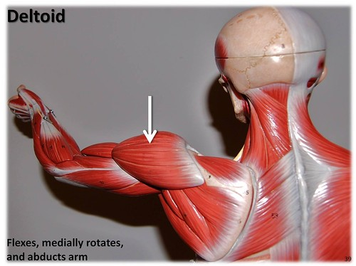 Deltoid Muscles Of The Upper Extremity Visual Atlas Page 39