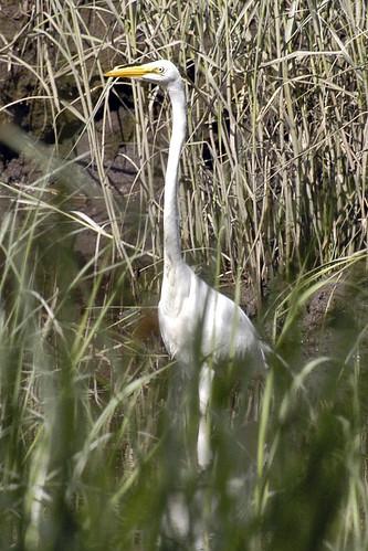 egret pocasset July 30 2010