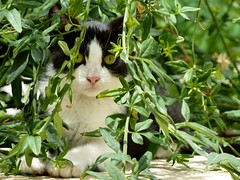 Cat in a shrub (Marite2007) Tags: cats green nature leaves shrub
