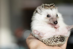 Hedgehog Veterinarian