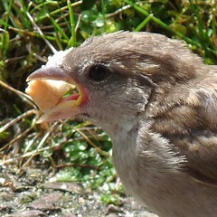 Big mouth sparrow - Een mus met een grote bek. (4 pictures) (Cajaflez) Tags: bird mouth bread with sparrow mus vogel bek brood natureselegantshots saariysqualitypictures thebestofmimamorsgroups