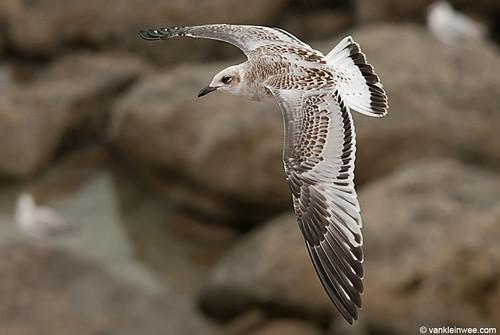 Mediterranean Gull, 1cy, G[R29L]