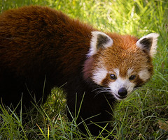 Ailurus Fulgens    Red Panda (Ganymede: Photography) Tags: madrid red up closeup cat zoo aquarium eyes nikon panda close vibrant curves gritty redpanda shining ailurusfulgens d60 ailurus fulgens nikond60  ortonish shiningcat zooaquariumdemadrid