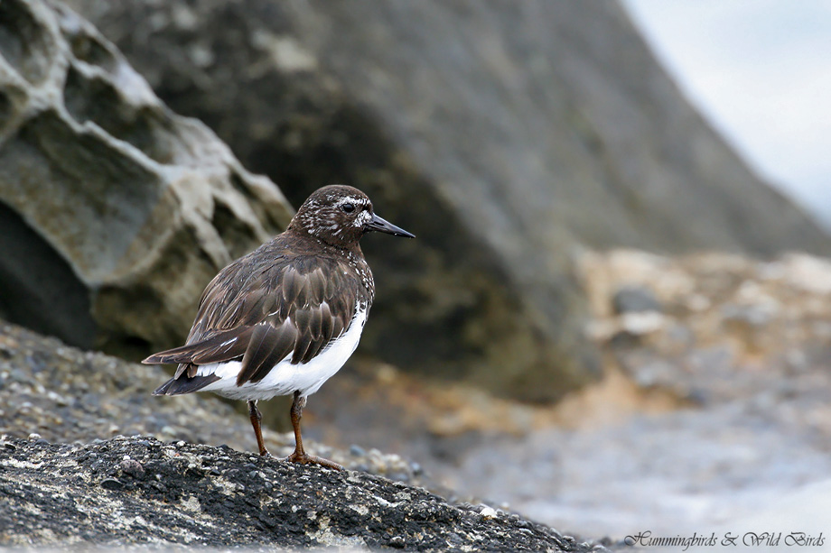 Black-Turnstone-071001