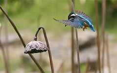 Hovering (jcowboy) Tags: bird nature birds animal animals japan asia wildlife kingfisher aichi 2010 obu kingfishers  animalkingdomelite avianexcellence june2010 hoshinaike
