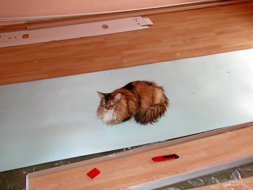 Laminat mit Katze verlegt