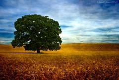 "Summer Glory (jactoll) Tags: morning blue summer tree green texture field gold oak nikon wheat arrow nikkor 1001nights warwickshire vr d60 alcester warks abigfave colorphotoaward flickrelite 1685mm ""flickraward"" skeletalmess 1001nightsmagiccity arttex jactoll"