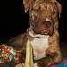 "Adopt Roxanna ""Roxy"" the pit bull!"