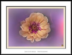El resplandor prpura (Jose Luis Mieza Photography) Tags: flowers flores flower fleur fleurs flor benquerencia florews reinante jlmieza reinanteelpintordefuego joseluismieza
