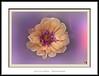El resplandor púrpura (Jose Luis Mieza Photography) Tags: flowers flores flower fleur fleurs flor benquerencia florews reinante jlmieza reinanteelpintordefuego joseluismieza