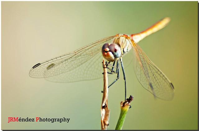 Tiempo de libélulas ..