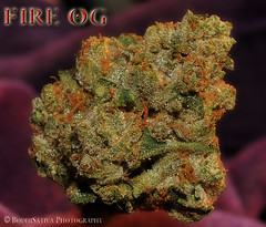 BodhiSativa Photography's top og of 2010 - FIRE OG KUSH (BodhiSativa Photography) Tags: weeds weed 420 herb cannabis hightimes medicalmarijuana kush ogkush bodhisativa oceangrown sb420 cannabisphotography cannabisconnoisseur