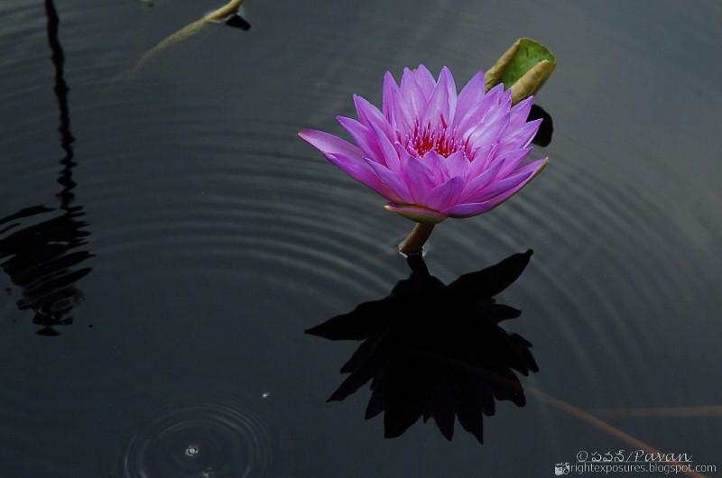 Longwood Gardens - Water Lily