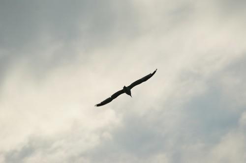 Shadowy Seagull