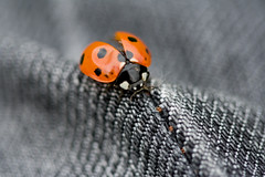 Mummy, I've been fighting again. (Trout Mask) Tags: insect jeans ladybird damaged dinted