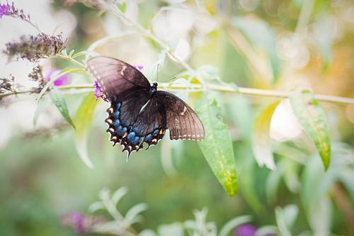 Dark Morph Eastern Swallowtail