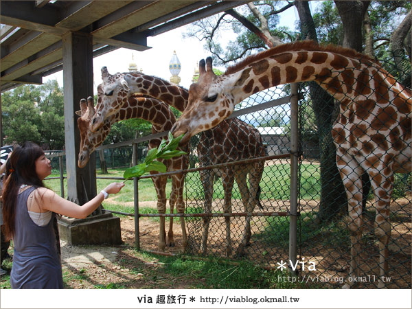 【關西六福莊】精彩秘探野生動物園/DIY手作/農趣樂~!37