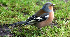 2010 08 09 (098ce) Chaffinch @ Western Springs-300d-09 (Terry Hollis) Tags: newzealand canon eos 300d ngc explore auckland top20nature dslr aotearoa fringillacoelebs chaffinch westernsprings naturesfinest mywinners westernspringspark platinumphoto avianexcellence terryhollis 75300mmf456lens
