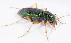Tetracha (Megacephala) virginica (cotinis) Tags: insect beetle northcarolina piedmont tigerbeetle coleoptera eol carabidae canonefs60mmf28macrousm megacephalavirginica megacephala tetracha tetrachavirginica virginiametallictigerbeetle taxonomy:binomial=megacephalavirginica