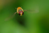 Hoverfly (Syrphida) (PeterQQ2009) Tags: macro insects