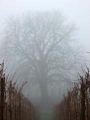 Rafz_032_03122009_09'28 (eduard43) Tags: winter tree fog december mood nebel dezember 2009 baum stimmung chestnuttree rafz kastanienbaum