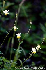 wildflowers #1 (Buzz Click Photography) Tags: camping canada calgary hiking alberta spike banff lakelouise albertacanada banffnationalpark radiospike canadianrockies buzzclick july2010 buzzclickphotography