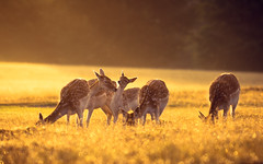 but momma, my neck is already clean! (andrew evans.) Tags: lighting morning summer england sun mist nature misty fairytale sunrise golden countryside kent nikon bokeh wildlife warmth calm deer ethereal wonderland storybook magical 70200 f28 enchanted d3