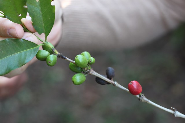 Different ripeness stages on same branch