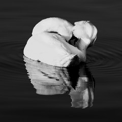 morning care (igünther) Tags: morning blackandwhite bw white black bird nature water beauty canon swan wildlife care watermirror igünther