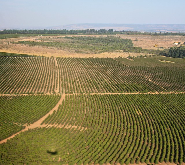 Fields with rows of coffee trees