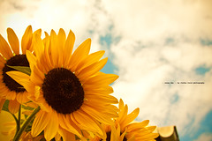 sunny day (Stefan Lorse) Tags: summer sky sun clouds germany deutschland sommer saxony himmel wolken sachsen sunflower sonne sonneblume canonef28135isusm canoneos50d