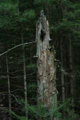 Tawas d3 2010 042 (wucheydi) Tags: summer deadtree treetrunk sst 2010 summer2010