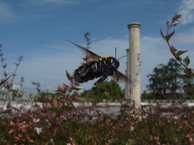 Xylocopa appendiculata in flight