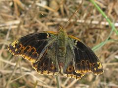 Issoria lathonia (Female) (Lepsibu) Tags: europe lepidoptera nymphalidae taxonomy:binomial=issorialathonia