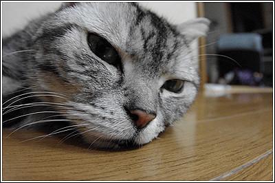 我が家の長老猫「シルバー」永眠
