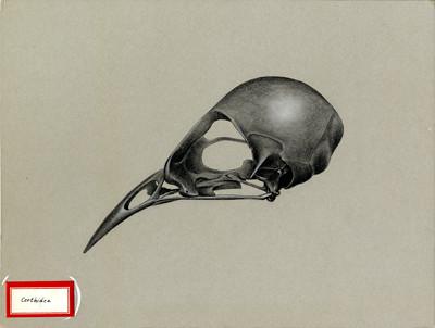 Certhidea skull. 1961.