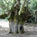 Rovere monumentale - Oak monumental