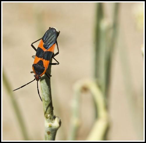 Milkweed bug (2)