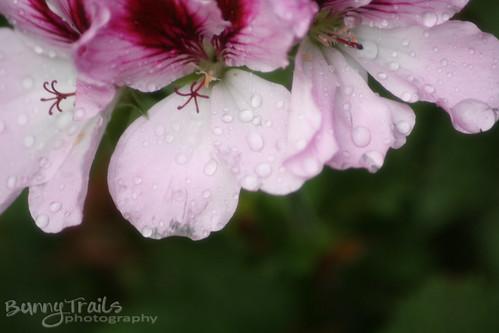 227-geranium
